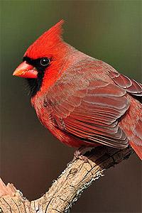 wild-bird-cardinal3